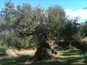 Sehr eindrucksvoll finde ich auch diesen Olivenbaum. Foto: (c) Petra Gust-Kazakos