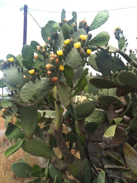 Kaktusblüte2